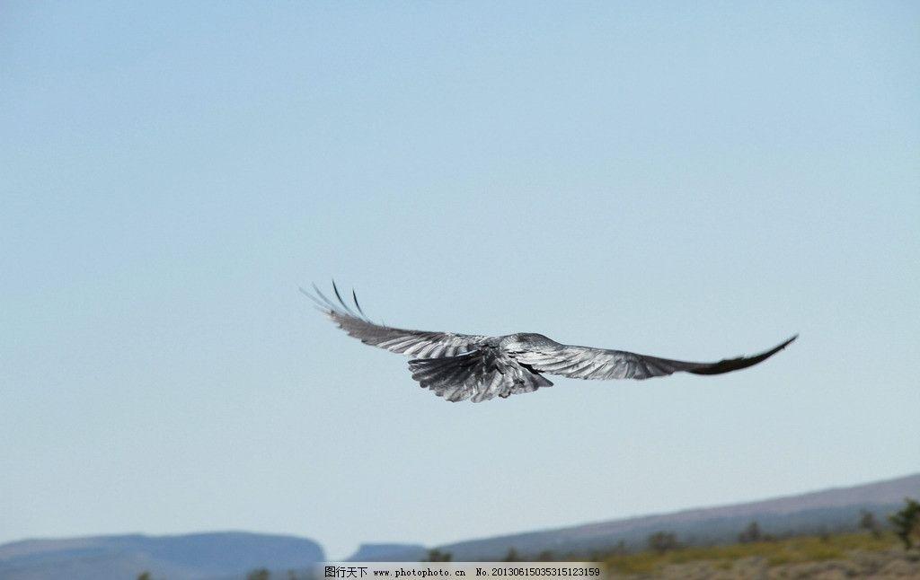 生乌鸦 展翅 飞翔 小鸟 天空 翱翔 蓝天 空旷-飞翔的海鸥 海鸥 飞翔 天