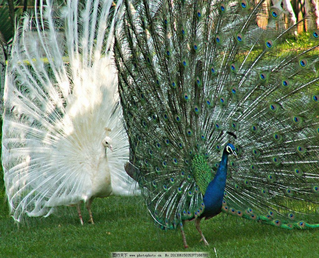 孔雀开屏 动物 鸟类 绿孔雀 白孔雀 二只 开屏 羽毛 生物世界 摄影 72
