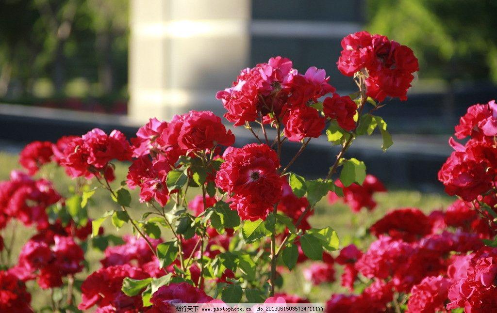 玫瑰花丛图片