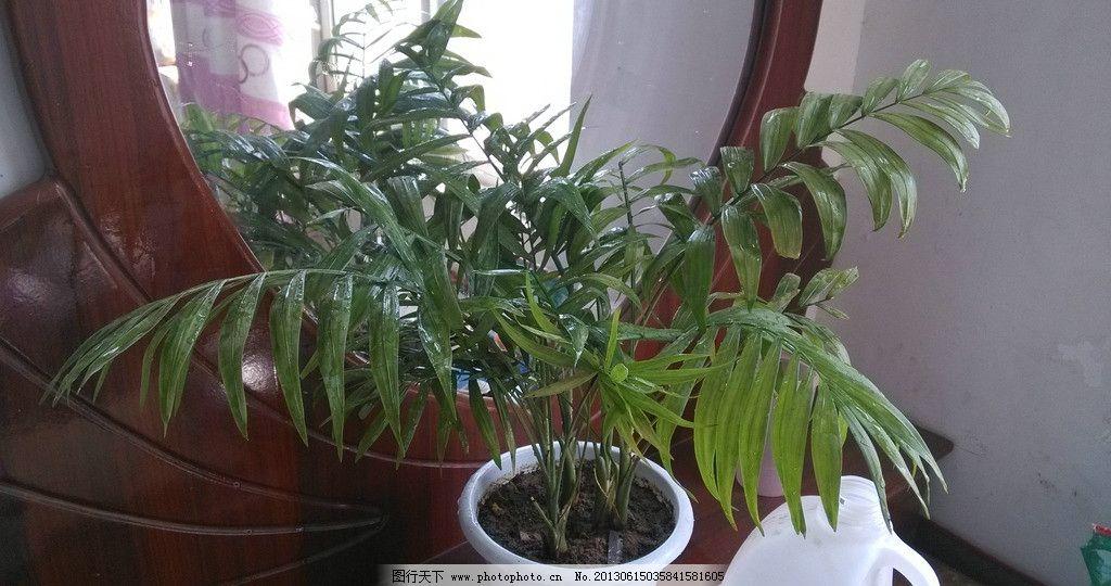 家养袖珍椰子 家养植物
