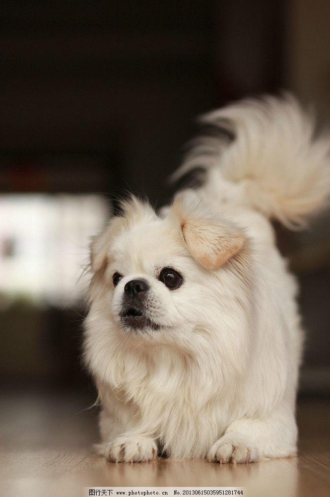 宠物狗 宠物 动物 哺乳动物 家养 京巴 小狗 白色 可爱 犬类 萌宠
