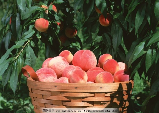 平谷桃子 北京平谷大桃 一筐新鲜桃子 桃子采摘园 图片素材 风景|生活