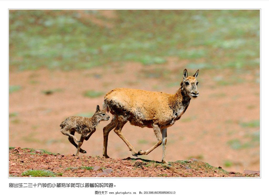 藏羚羊 高原红 绿草 高原 阳光 野生动物 生物世界 摄影 300dpi tif
