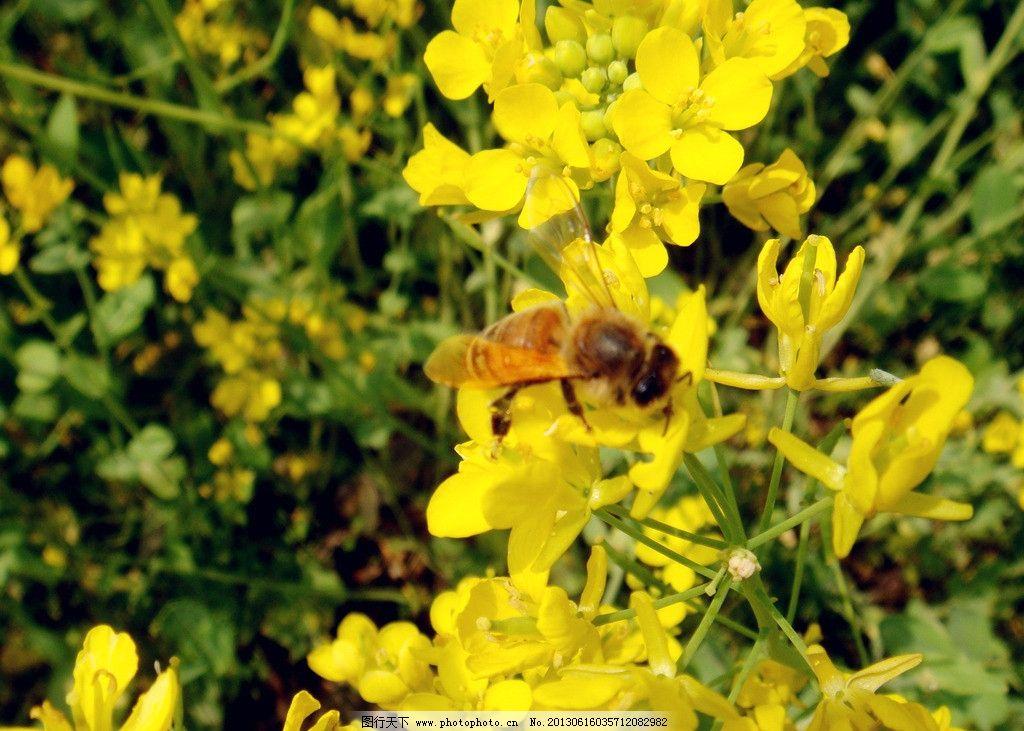 油菜花 黄色花 黄色花心 花蕾 绿叶 蜂蜜 其他 花草 生物世界 摄影 72