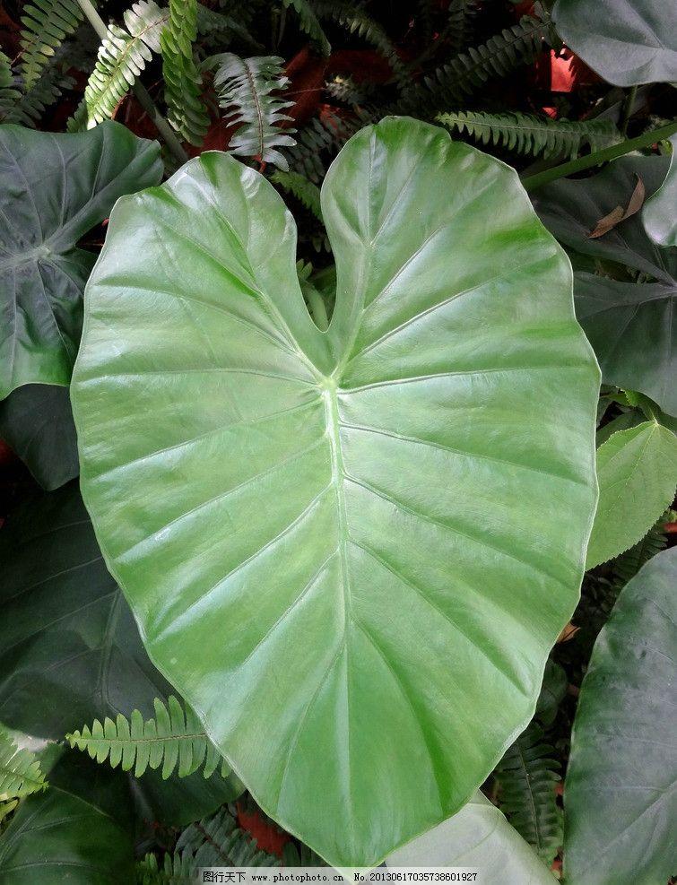 绿叶 热带雨林 热带植物 亚热带 山芋头 山芋 叶子 夏天 雨季 植物