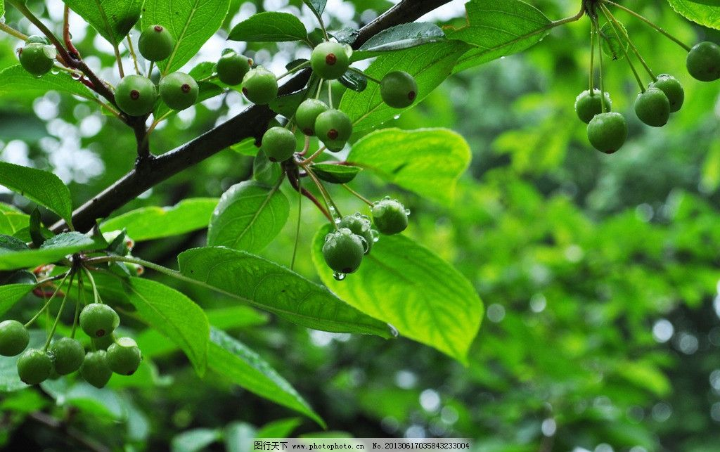 雨后绿叶 雨后 绿叶 水滴 植物 下雨 树木树叶 生物世界 摄影 300dpi