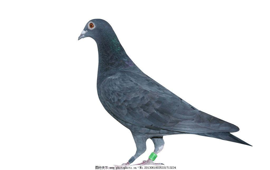 鸽子 信鸽 飞鸟 家鸽 灰鸽 鸟类 生物世界 摄影