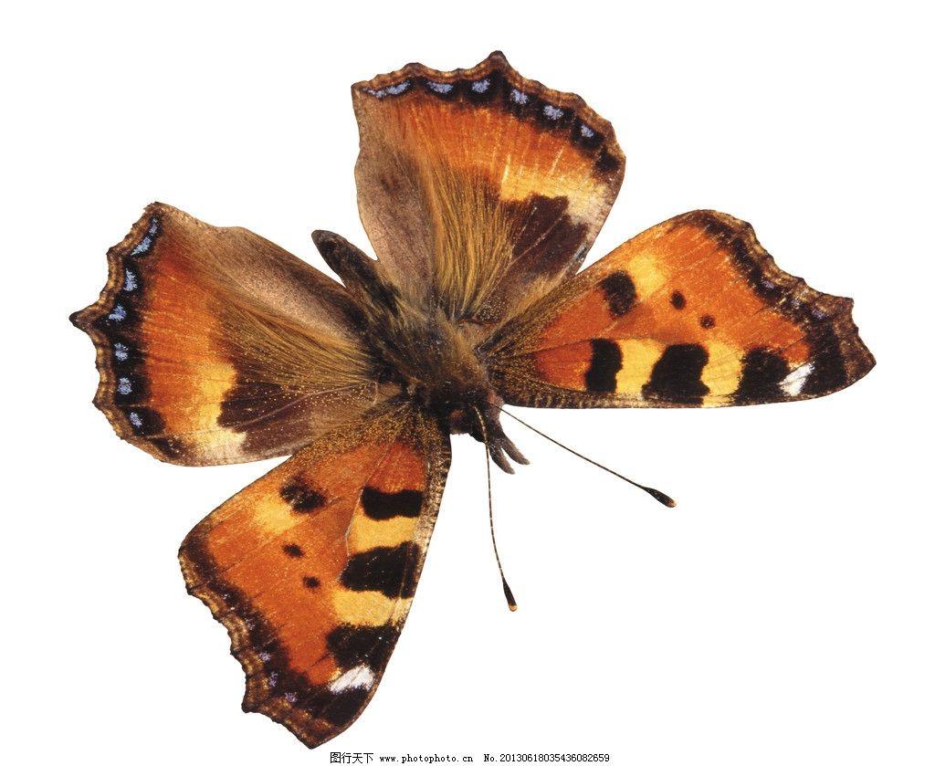 蝴蝶 动物 蝴蝶素材 昆虫 生物世界 摄影 300dpi jpg