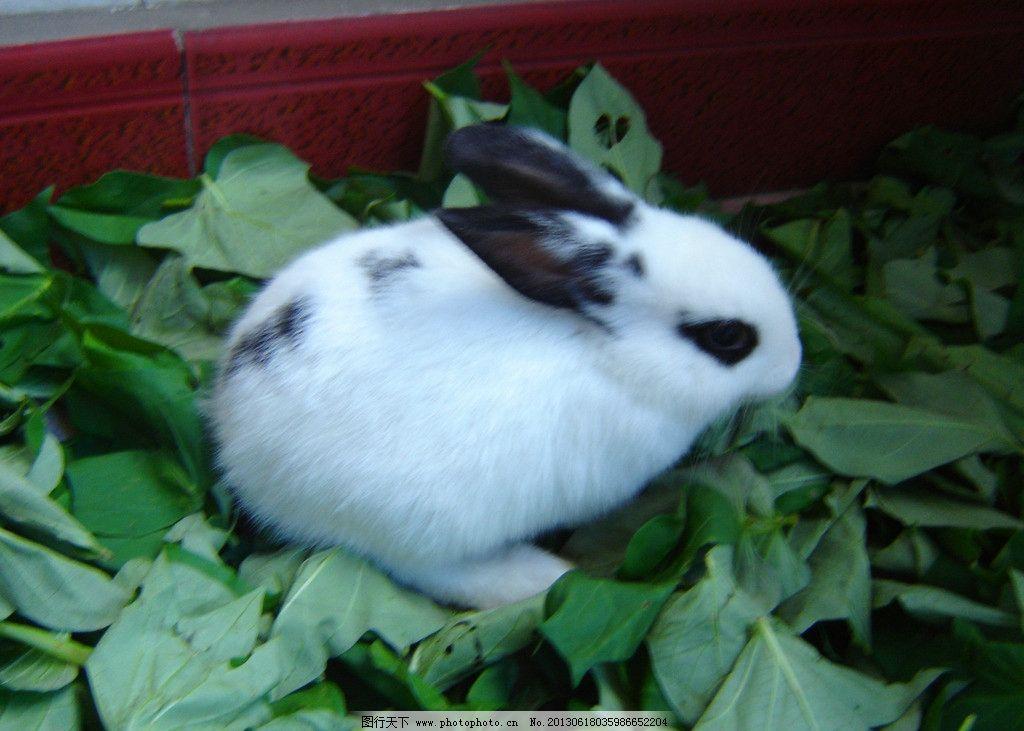 兔子 宠物兔 小白兔 兔 小兔 小动物 宠物 可爱 家兔 白兔 家禽家畜