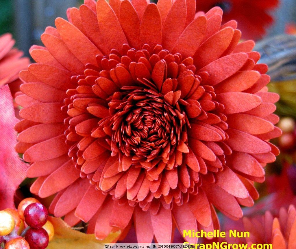 菊花 鲜花 花朵 花草 花卉 生物世界 自然风景 摄影 摄影图库
