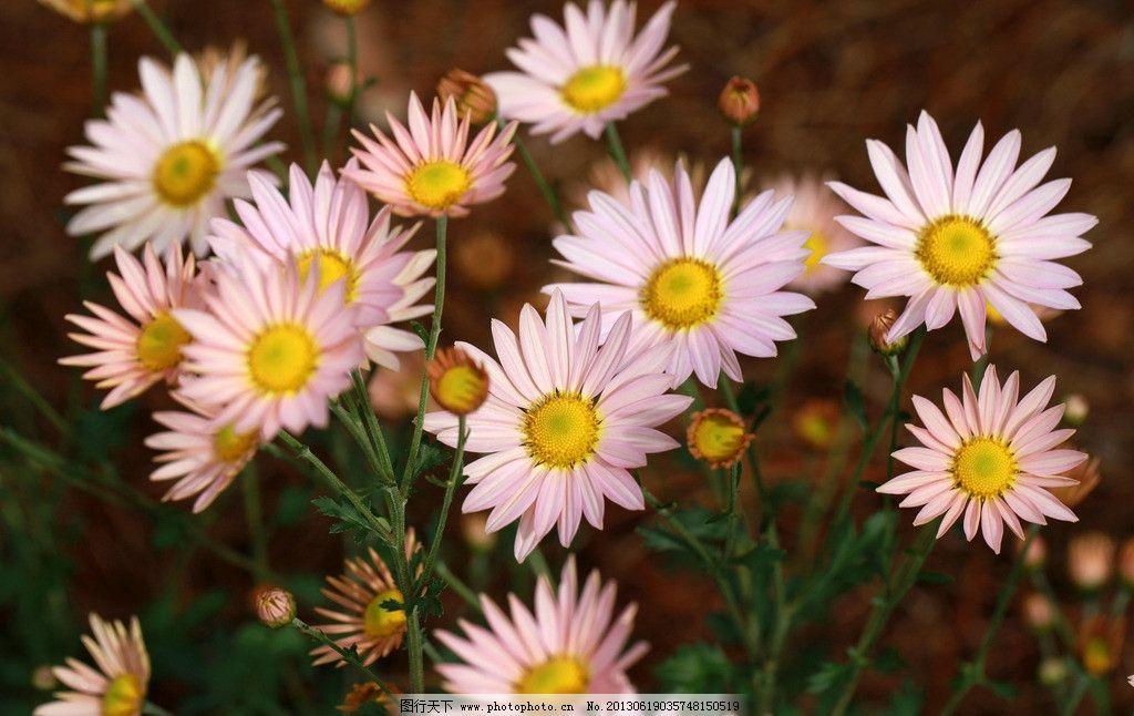 菊花 鲜花 花朵 花卉 自然风景 摄影 摄影图库
