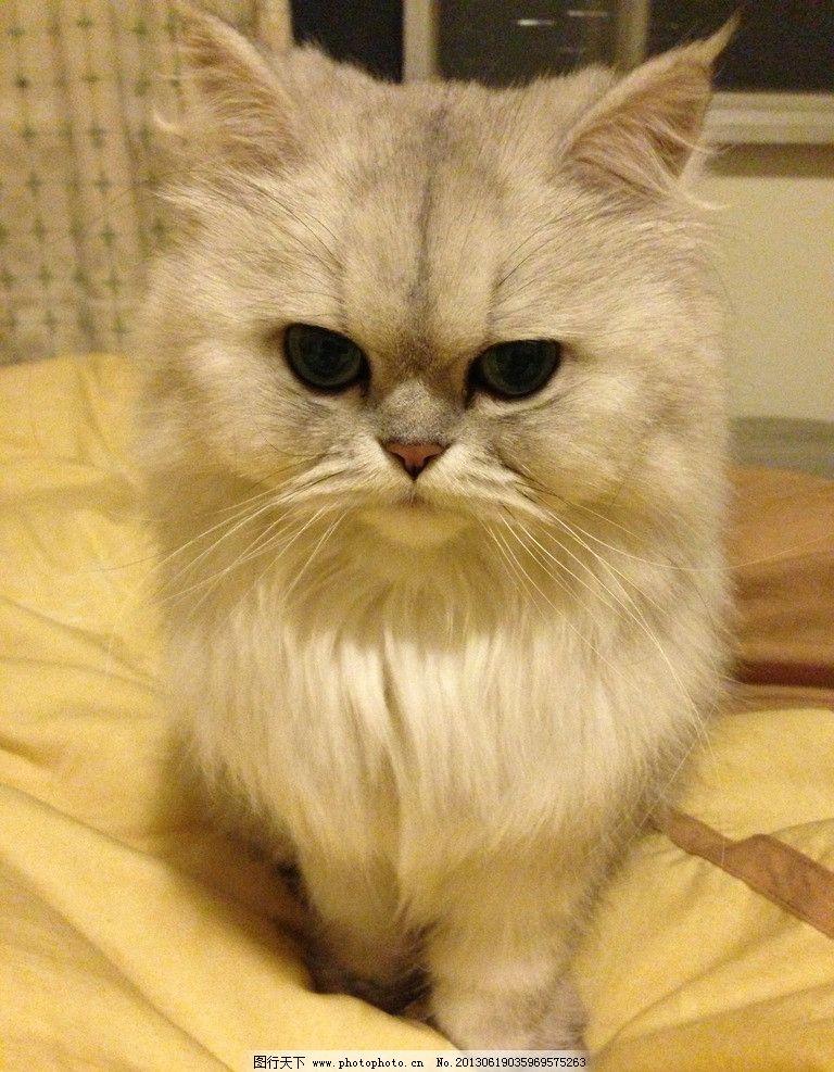 波斯猫 波斯猫 白猫 宠物