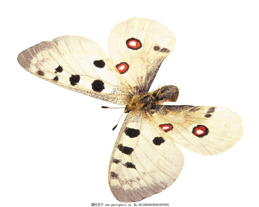 蝴蝶 白底 白背景 设计 昆虫 生物世界 摄影 300dpi jpg