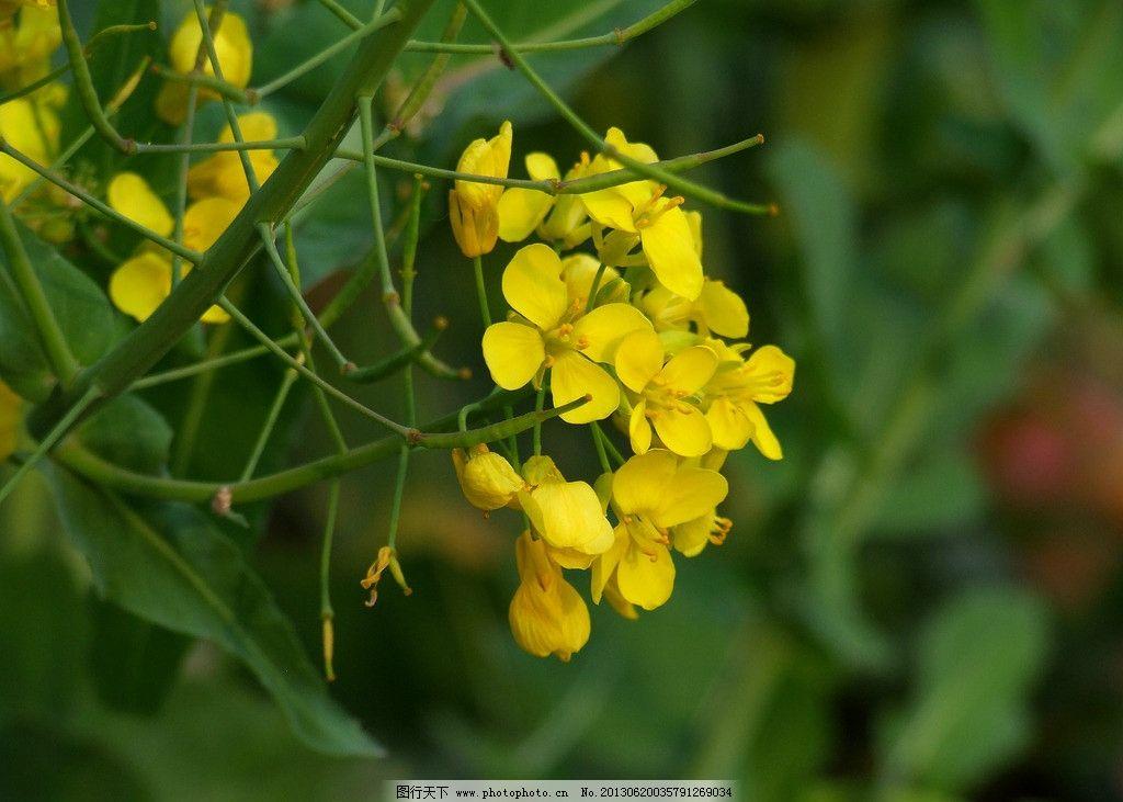 油菜花 春天 花卉 黄花 植物 花草 生物世界 摄影
