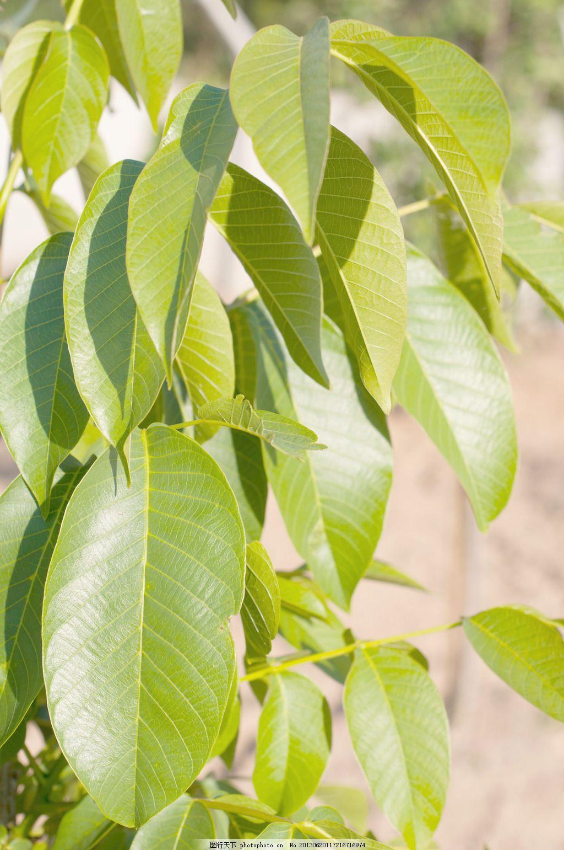 苹果树的叶子图片