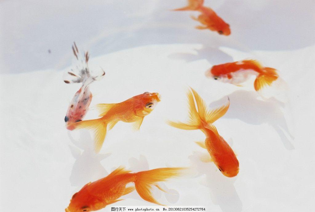 金鱼 水面 倒影 红色 动物 鱼尾 鱼类 生物世界 摄影 350dpi jpg