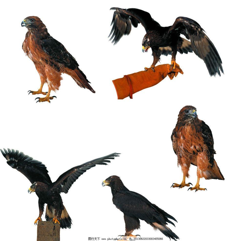 老鹰 飞翔 翱翔 鹰 飞行动物