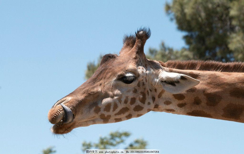 长颈鹿 动物 生物 动物园 哺乳动物 摄影 动物世界 头部 特写 野生