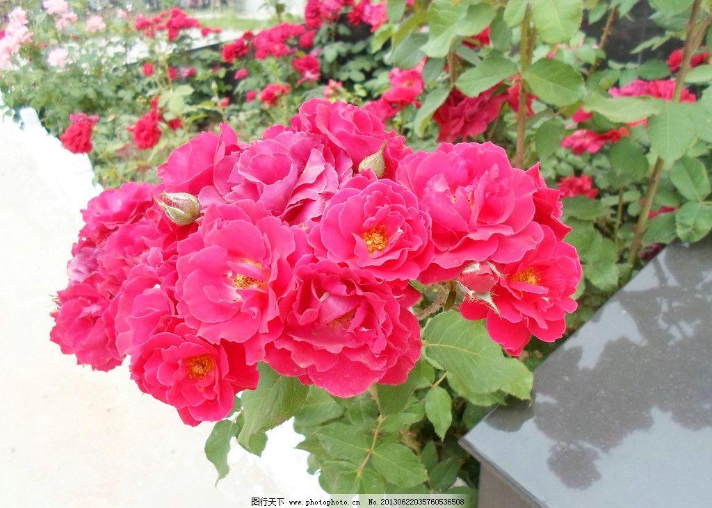 花朵 月季 粉色 风景 户外 静物 特写 花团锦簇 花开富贵 照片 蜜蜂