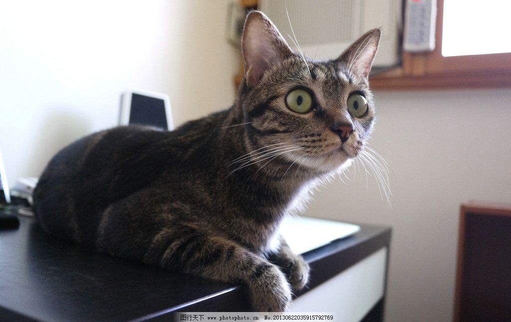 花猫 胡须 桌面 动物 窗户 猫眼 猫耳 摄影