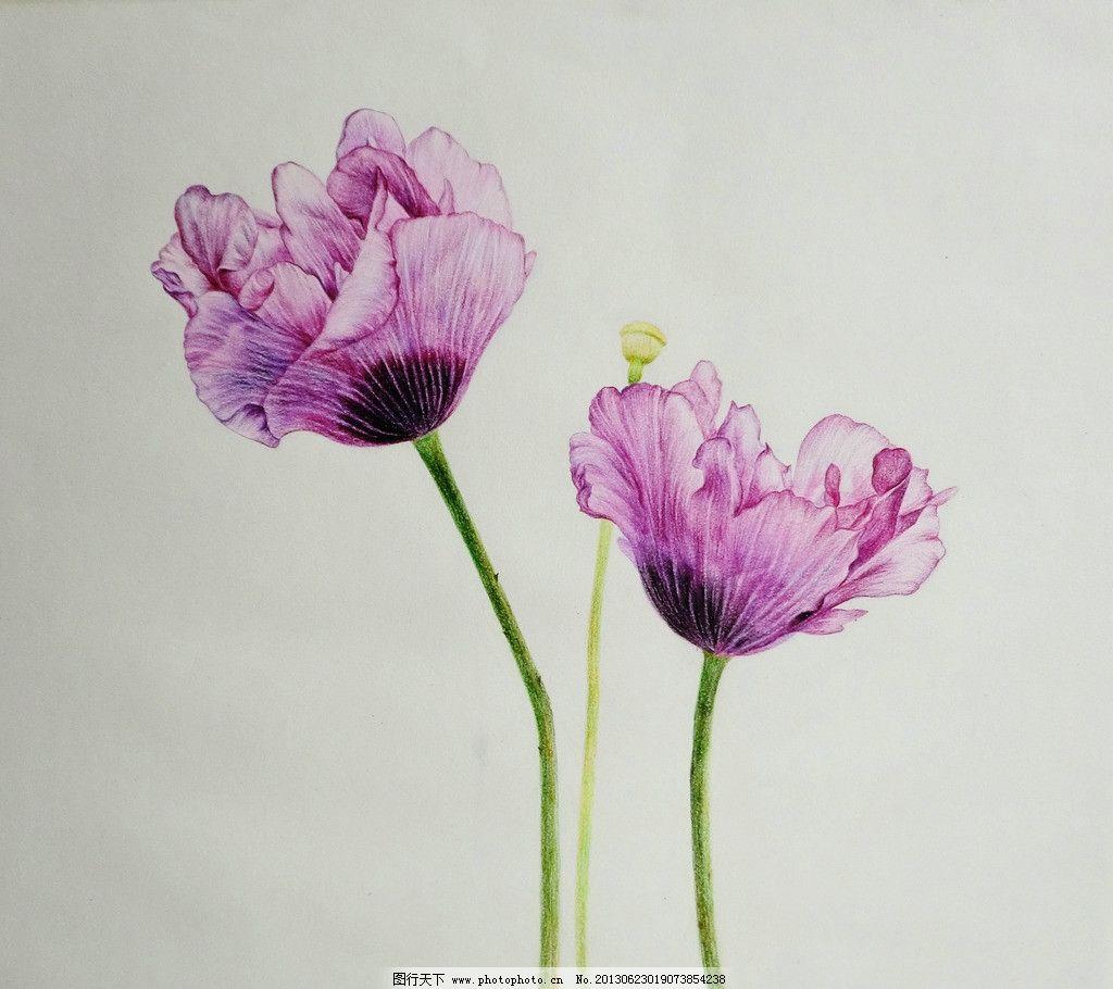 花 虞美人 紫红色 彩色铅笔手绘 绘画 绘画书法 文化艺术 设计 72dpi