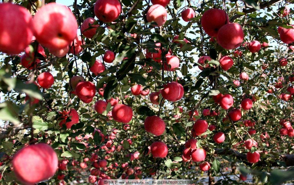 苹果 水果 果园 苹果树 树叶 成熟 丰收 新鲜 可口 水果摄影 生物世界