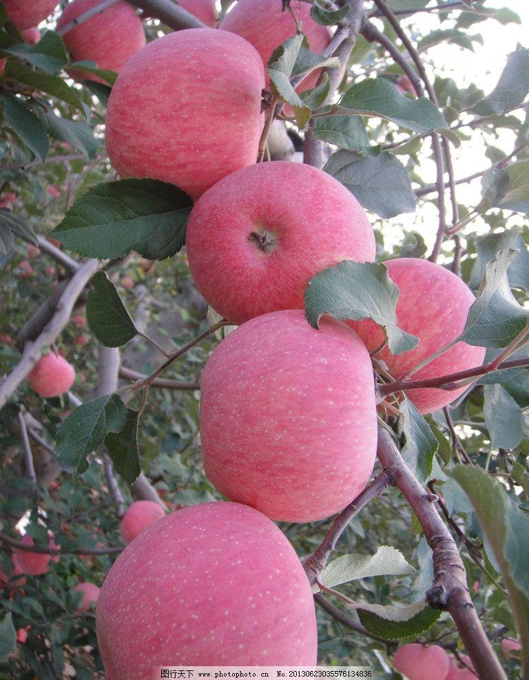 苹果 水果 果园 苹果树 树叶 成熟 丰收 新鲜 可口 水果摄影