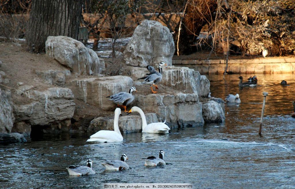 北京动物园的天鹅图片