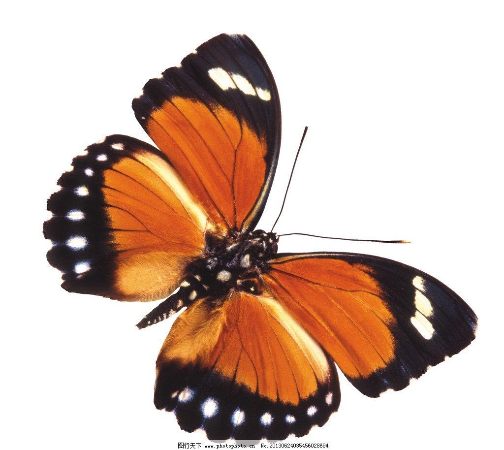 蝴蝶 白底 白背景 摄影 昆虫 生物世界 300dpi jpg