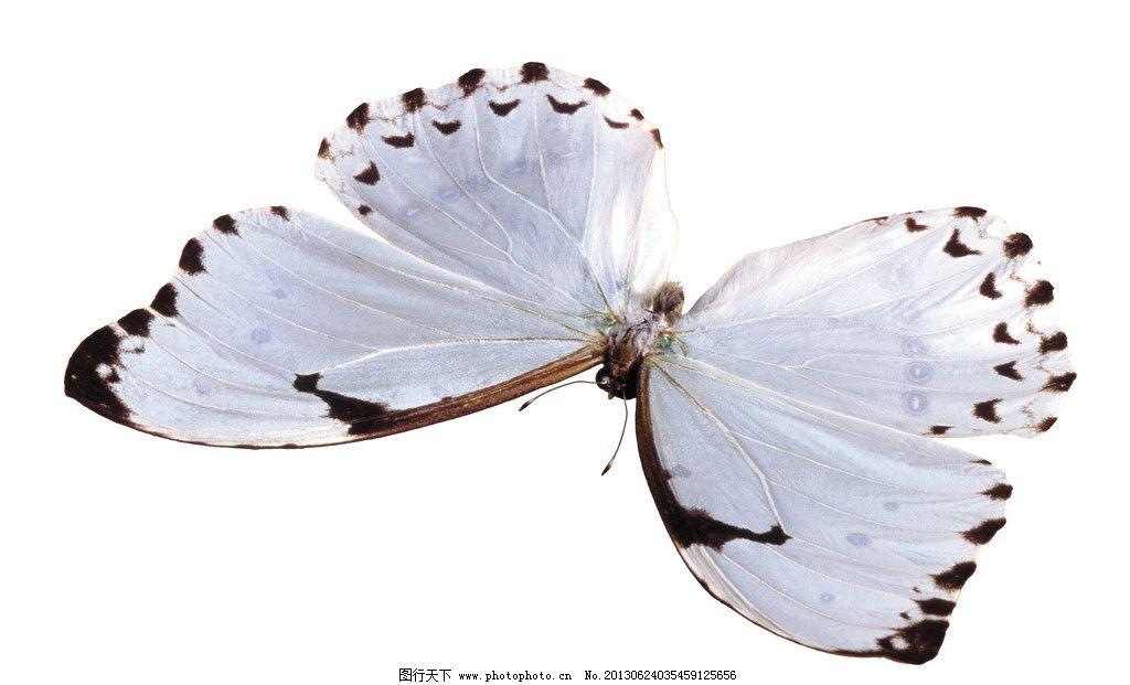 蝴蝶 白底 白背景 摄影 昆虫 生物世界