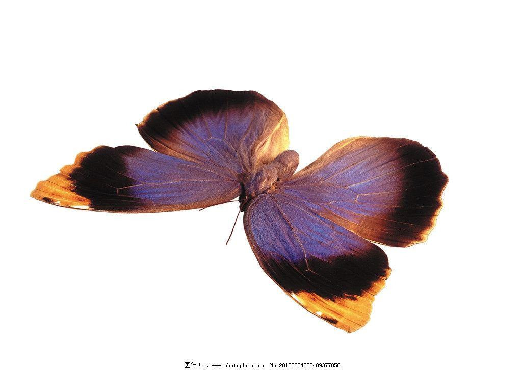 蝴蝶 白底 白背景 摄影