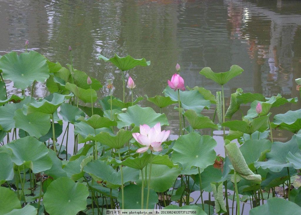 荷花 湖州 长岛 公园 旅游 风景 莲花 植物 摄影