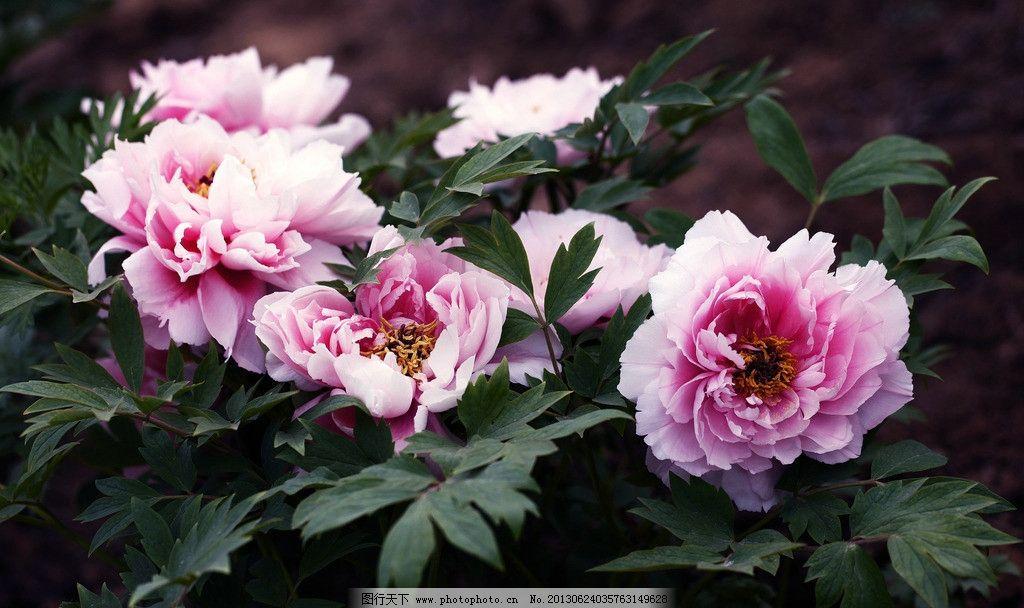 牡丹 花卉 花草 春天 鲜花 灿烂花朵 春花 娇艳欲滴 盛开的花朵图片