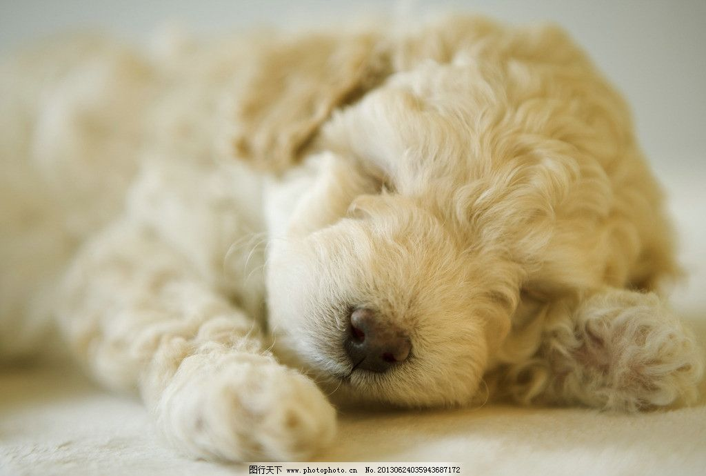 可爱狗狗白色泰迪图片