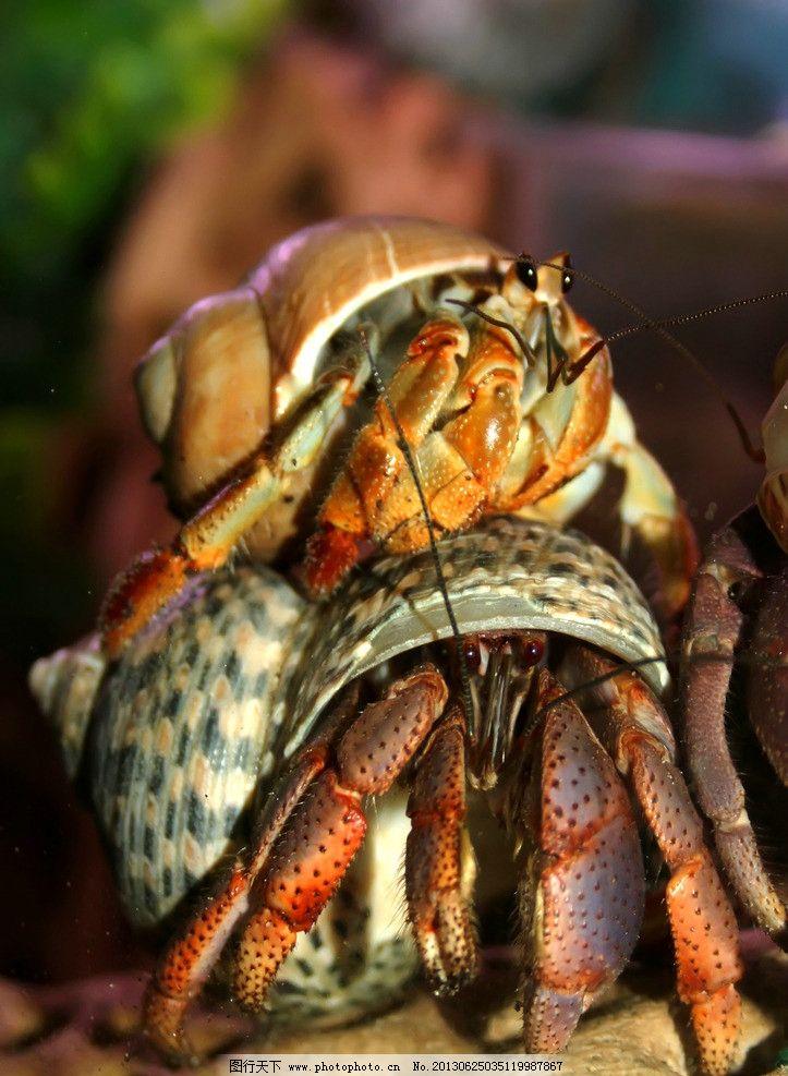 寄居蟹 海洋生物 节肢动物 白住房 干住屋 蟹 蟹类 螃蟹 寄居蟹图片 寄居蟹素材 生物世界 摄影 72DPI JPG