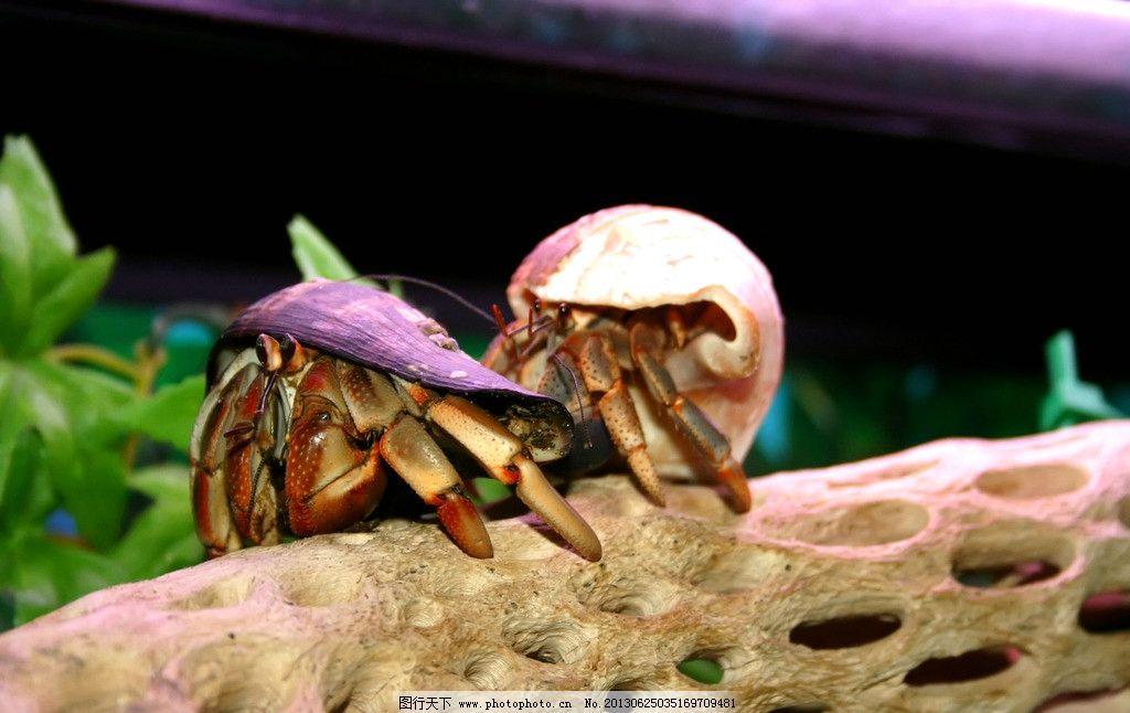 寄居蟹 节肢动物 白住房 干住屋 蟹类 螃蟹 寄居蟹素材 摄影