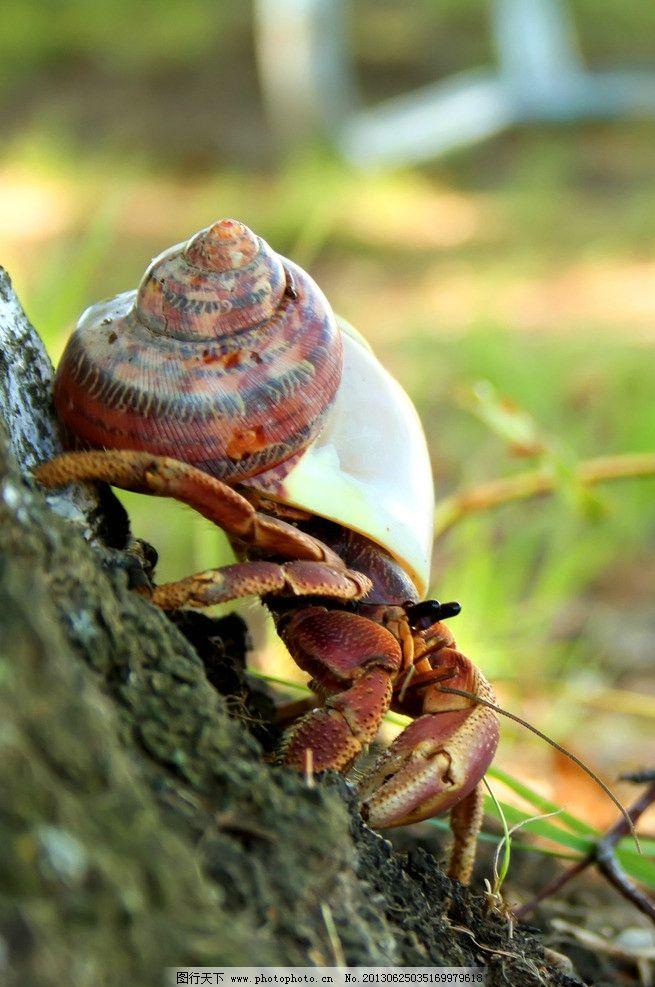 寄居蟹 海洋生物 节肢动物 白住房 干住屋 蟹类 螃蟹 寄居蟹素材