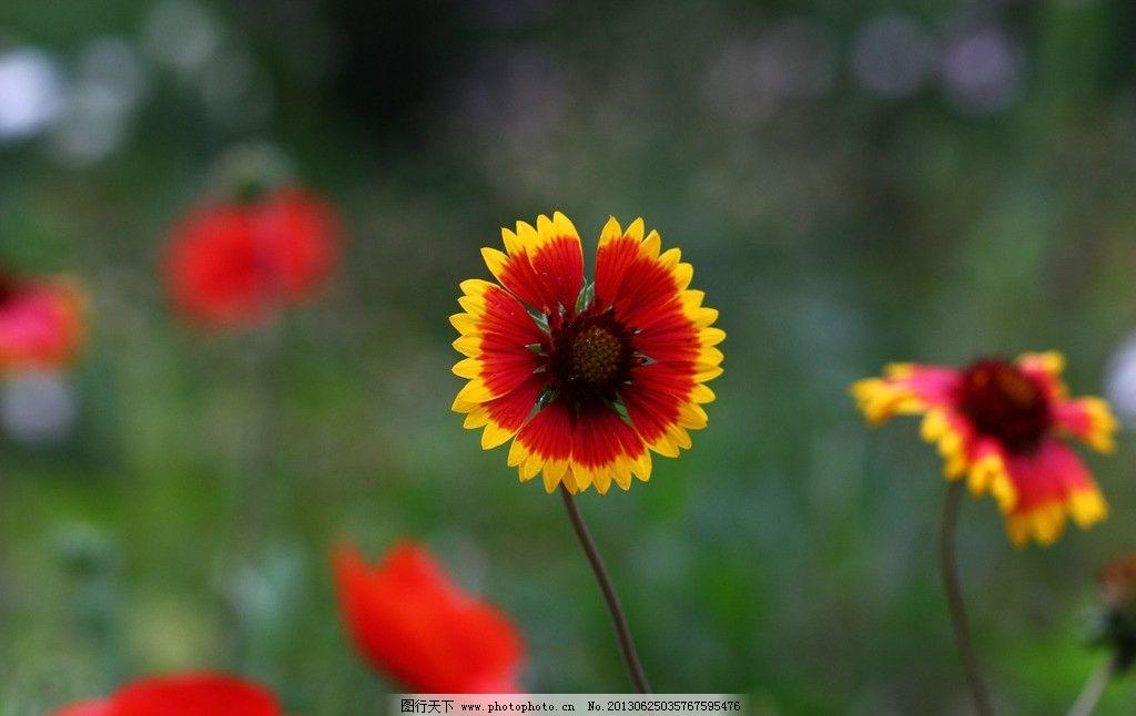 太阳花 黄边 红花瓣 花蕊