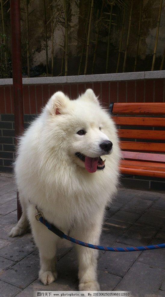 萨摩耶 成年狗狗 白色狗狗 大型犬 可爱 家禽家畜 生物世界 摄影 72dp