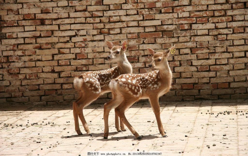 梅花鹿 鹿 小鹿 幼小鹿 两只鹿 野生动物 生物世界 摄影 72dpi jpg