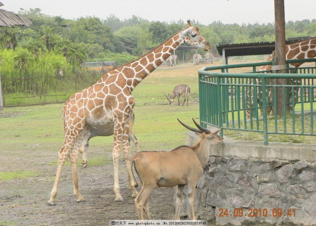 长颈鹿 动物园 野生 羚羊 喂食 野生动物 生物世界 摄影 300dpi jpg