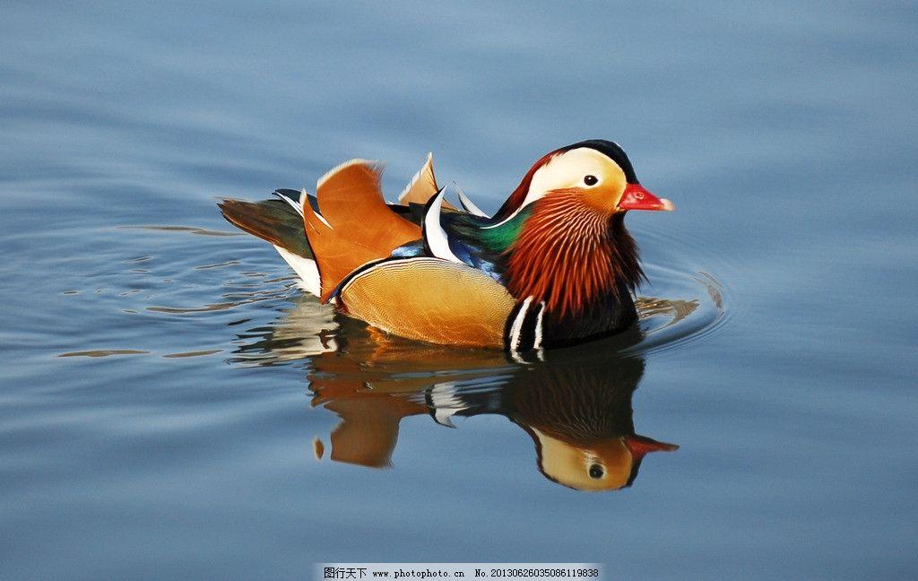 鸳鸯 艳丽 羽毛 倒影 水面 动物 水禽 野生动物 生物世界 摄影 300dpi