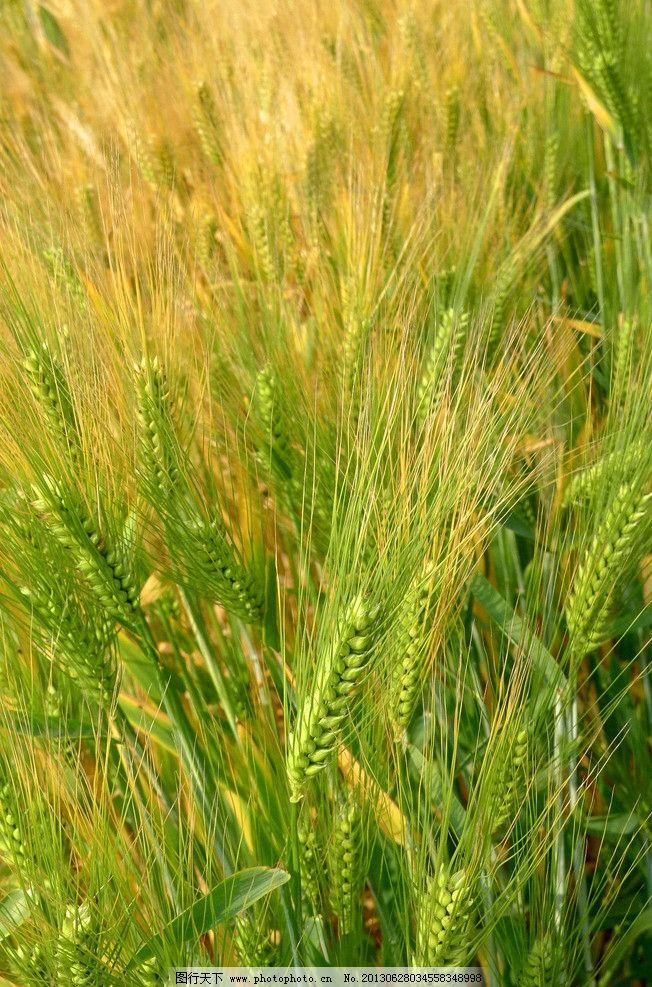 小麦 田 绿色 自然 高清 原创 田园风光 自然景观 摄影 180dpi jpg