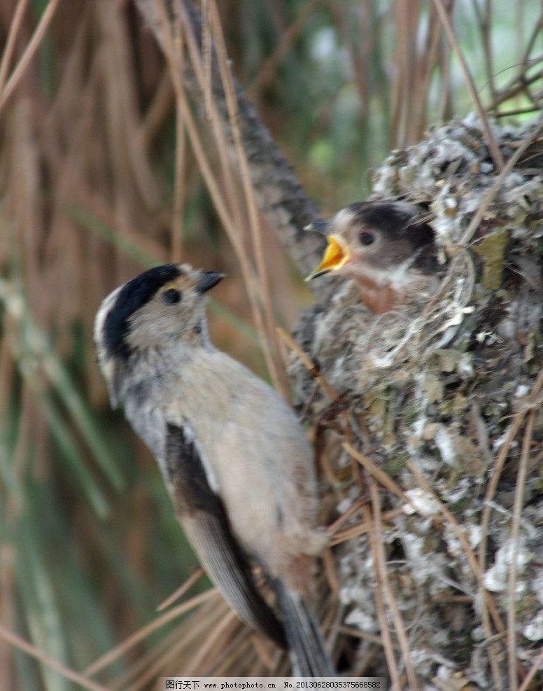 小鸟 喂食 哺育 白头翁 鸟窝 雏鸟 鸟类 生物世界 摄影 72dpi jpg