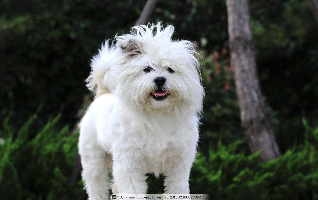宠物狗 宠物 白色 犬类 白狗 小狗 长毛 家禽家畜 生物世界 摄影 350d