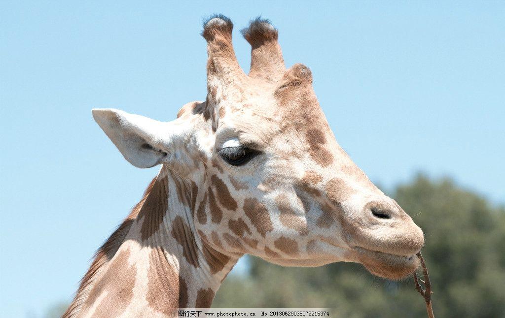 长颈鹿 动物 生物 动物园 哺乳动物 摄影 动物世界 头部 蓝天 特写