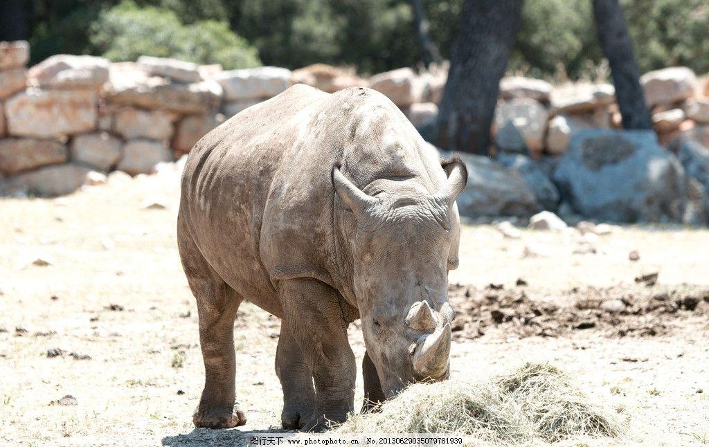 犀牛 动物 生物 动物园 哺乳动物 摄影 动物世界 野生动物 生物世界