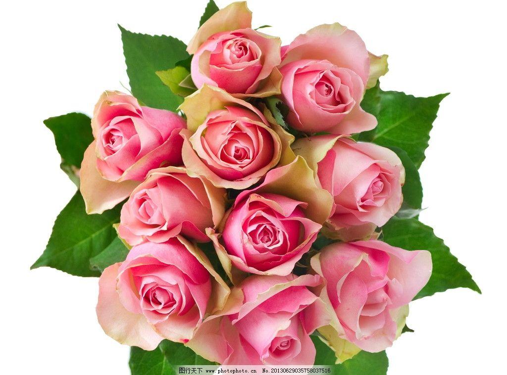 玫瑰 玫瑰花 鲜花 花朵 花草 花卉 生物世界 摄影图片