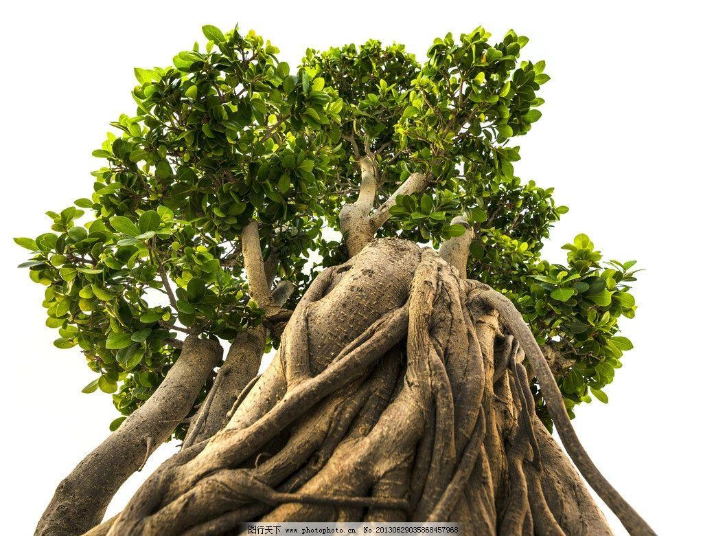 古树 大树 苍天大树 高大雄伟 粗壮 树根 树木树叶 生物世界 摄影 300