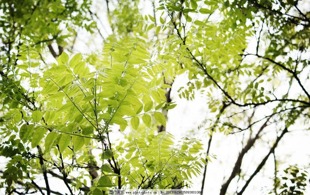 最美槐树叶图片图片